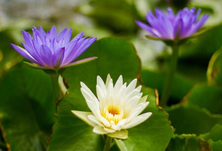 waterlilly: white and  purple   lotus  water-lilly in the pond