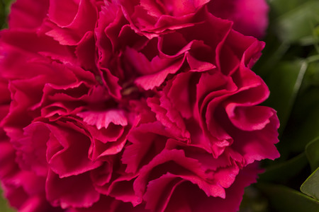 red  carnation: red carnation, close up