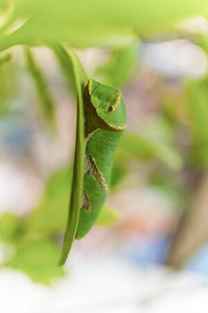close up: Green Caterpillar, close up