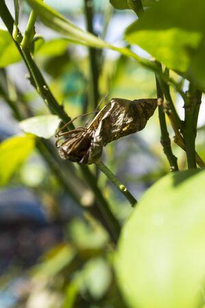 carcass: karkas van een vlinder in zijn cocon