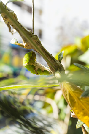 pupa: caterpillar in a process of transfering into a pupa
