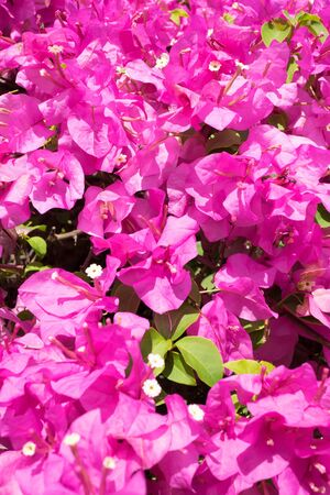 Bougainvillea flower from Thailand
