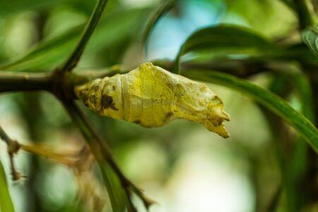 dried cocoon, chrysalis, pupa, close up