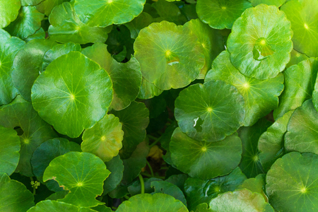natural fresh Water Pennywort or Centella asiatica leaf, close up