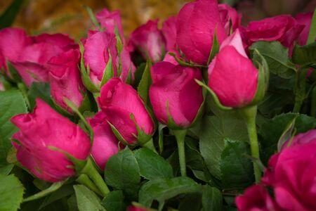 fresh pink roses, soft focus