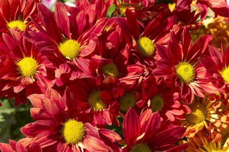 red chrysanthemum flower close up