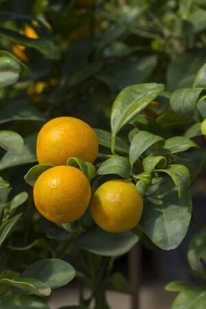 fresh orange on the tree