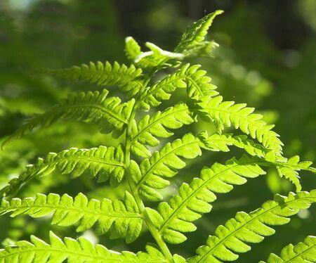 Backlit fern fronds. Imagens