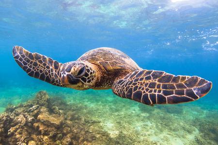green sea turtle: Hawaiian Green Sea Turtle cruises in the warm waters of the Pacific Ocean in Hawaii Stock Photo