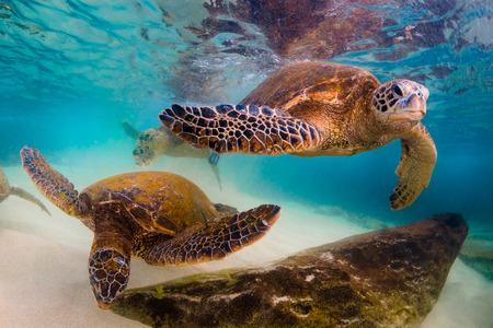 Hawaiian Green Sea Turtle cruises in the warm waters of the Pacific Ocean in Hawaii Banco de Imagens