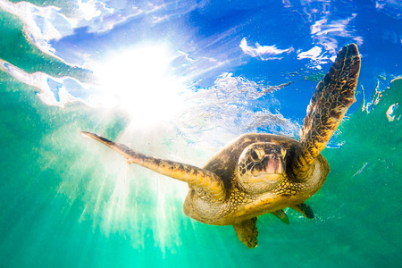 Hawaiian Green Sea Turtle cruises in the warm waters of the Pacific Ocean in Hawaii 版權商用圖片
