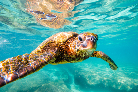 Hawaiian Green Sea Turtle cruises in the warm waters of the Pacific Ocean in Hawaii Stock Photo