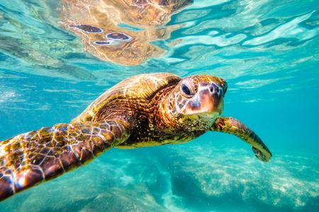 hawaii: Hawaiian Green Sea Turtle cruises in the warm waters of the Pacific Ocean in Hawaii Stock Photo