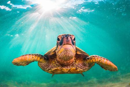 ハワイのアオウミガメがハワイの太平洋の暖かい海域でクルーズします。