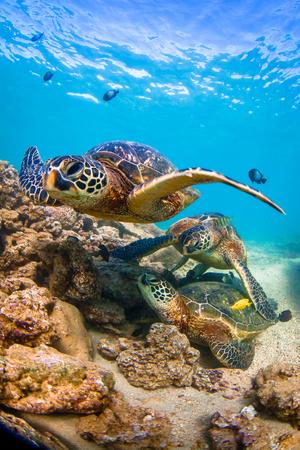 ocean and sea: Hawaiian Green Sea Turtle cruises in the warm waters of the Pacific Ocean in Hawaii Stock Photo