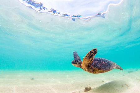 water's: Hawaiian Green Sea Turtle cruises in the warm waters of the Pacific Ocean in Hawaii Stock Photo