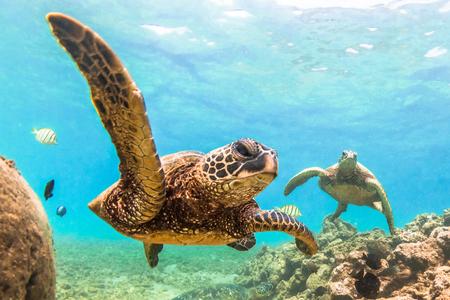 Hawaiano de la tortuga verde navegando en las aguas cálidas del océano Pacífico en Hawai