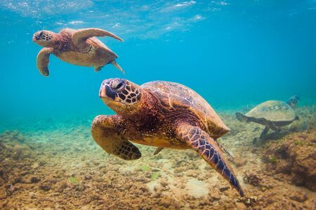 ocean and sea: Hawaiian Green Sea Turtle cruising in the warm waters of the Pacific Ocean in Hawaii
