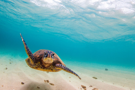 water's: Hawaiian Green Sea Turtle cruising in the warm waters of the Pacific Ocean in Hawaii