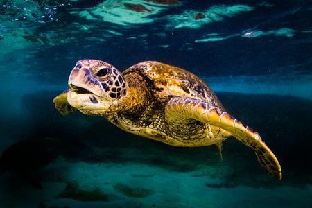 Hawaiian Green Sea Turtle cruising in the warm waters of the Pacific Ocean Stock Photo - 66117486