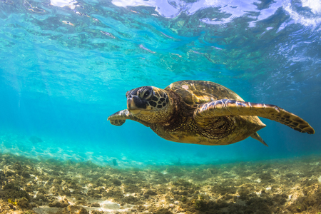 pacific ocean: Hawaiian Green Sea Turtle cruising in the warm waters of the Pacific Ocean