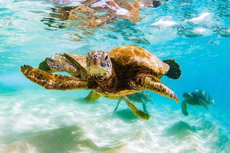 Tartaruga di mare verde hawaiana in crociera nelle acque calde dell'Oceano Pacifico alle Hawaii