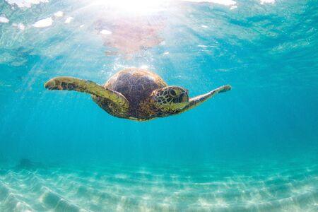 Hawaiian Green Sea Turtle Cruising in the Warm Waters of the Pacific Ocean in Hawaii