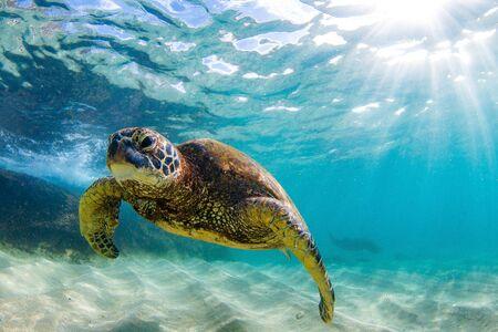 Hawaiian Green Sea Turtle Cruising in the Warm Waters of the Pacific Ocean in Hawaii Stock Photo