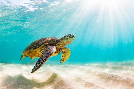 Hawaiiaanse groene zeeschildpad die in de warme wateren van de Stille Oceaan in Hawaï kruist Stockfoto