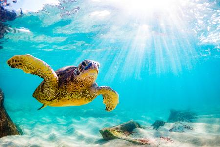 Hawaiische grüne Meeresschildkröte, die im warmen Wasser des Pazifischen Ozeans in Hawaii kreuzt Standard-Bild - 97922239
