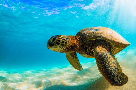 Hawaiian Green Sea Turtle Cruising in the Warm Waters of the Pacific Ocean in Hawaii Stok Fotoğraf - 97922385