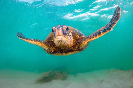 Hawaiiaanse groene zeeschildpad die in de warme wateren van de Stille Oceaan in Hawaï kruist
