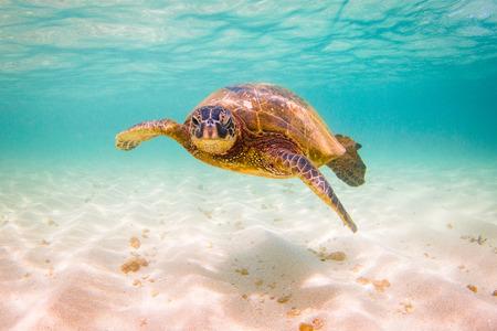 Hawaiian Green Sea Turtle Cruising en las cálidas aguas del Océano Pacífico en Hawai
