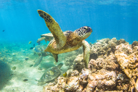 Hawaiian Green Sea Turtle Cruising in the Warm Waters of the Pacific Ocean in Hawaii Stok Fotoğraf - 97922448