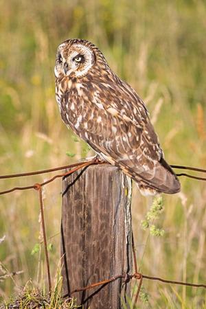 Hawaiian Short-Eared Owl aka Pueo