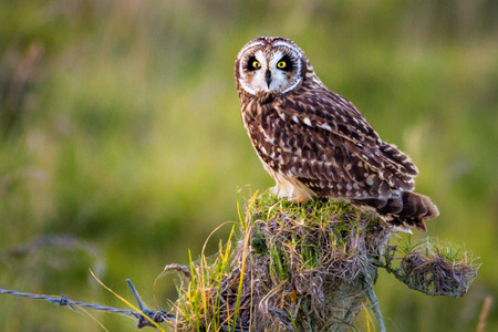 Hawaiian Short-Eared Owl aka Pueo