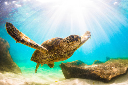 Hawaiian Green Sea Turtle Cruising in the Warm Waters of the Pacific Ocean in Hawaii