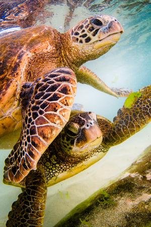 ハワイの太平洋の暖かい海域で絶滅危惧種のハワイアオウミガメクルーズ.