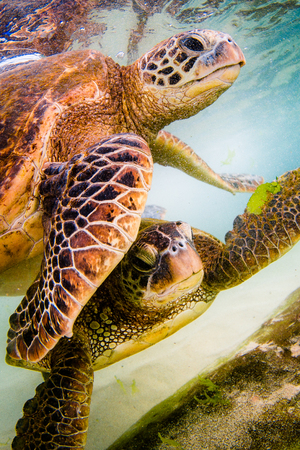 An endangered Hawaiian Green Sea Turtle cruises in the warm waters of the Pacific Ocean in Hawaii. Imagens