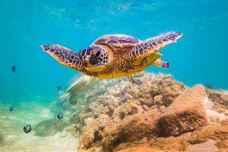 An endangered Hawaiian Green Sea Turtle cruises in the warm waters of the Pacific Ocean in Hawaii. Banco de Imagens