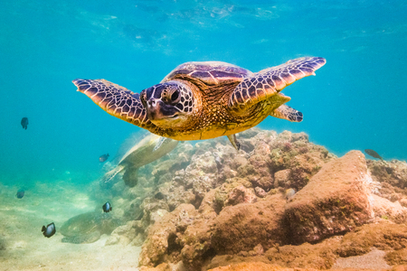 An endangered Hawaiian Green Sea Turtle cruises in the warm waters of the Pacific Ocean in Hawaii. Banque d'images