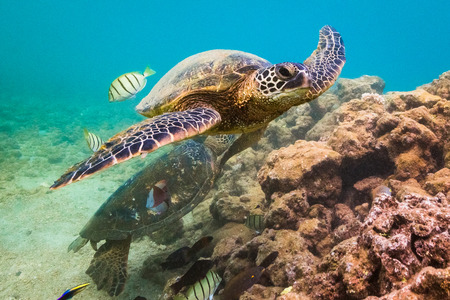 An endangered Hawaiian Green Sea Turtle cruises in the warm waters of the Pacific Ocean in Hawaii. Stock Photo