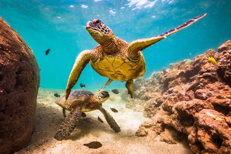 An endangered Hawaiian Green Sea Turtle cruises in the warm waters of the Pacific Ocean in Hawaii. Stockfoto
