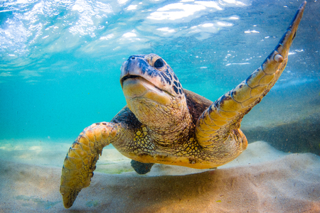 An endangered Hawaiian Green Sea Turtle cruises in the warm waters of the Pacific Ocean in Hawaii. Stok Fotoğraf