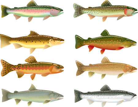 trout fishing: Trout Species Illustration