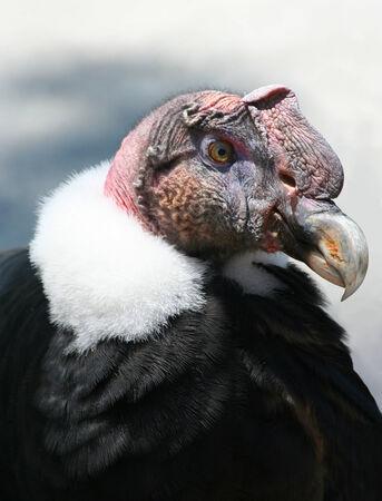 Andean Condor 版權商用圖片