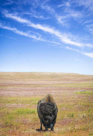 great plains: Lone Bison and the Sky