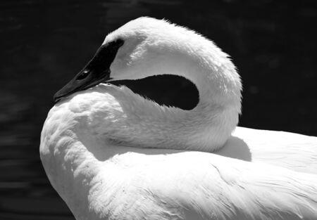 Resting Swan 版權商用圖片