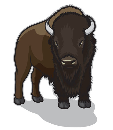 american bison: Bison