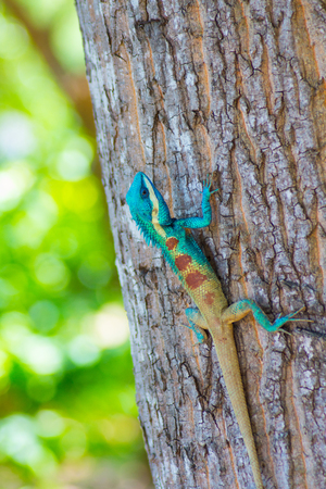 blue chameleon on a tree. Stock Photo